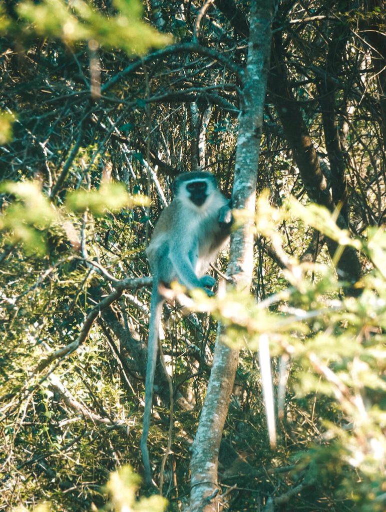 Velvet Monkeys say hello when we we're visiting St-Lucia beach