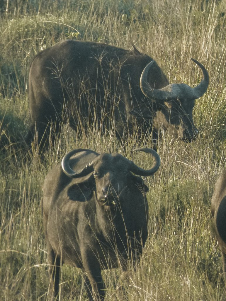 Group of buffalos grazing in Kruger National Park, South-Africa