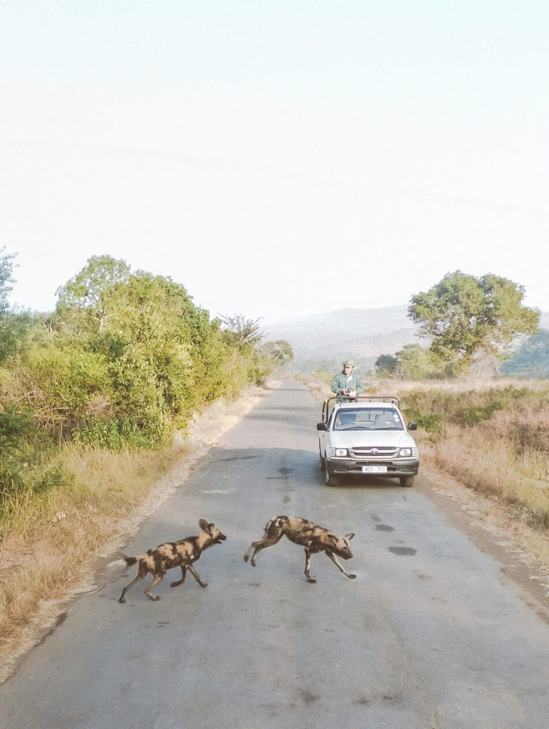 Spotting the rare African wild Dog in Hluhluwe Game Reserve, South-Africa