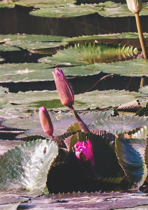Lotus flowers in the UNESCO heritage lily pond of Maison Dalabua