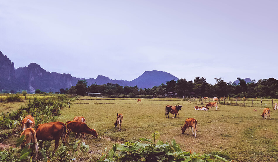 Horses grazing between the limestone rock formations at Vang Vieng