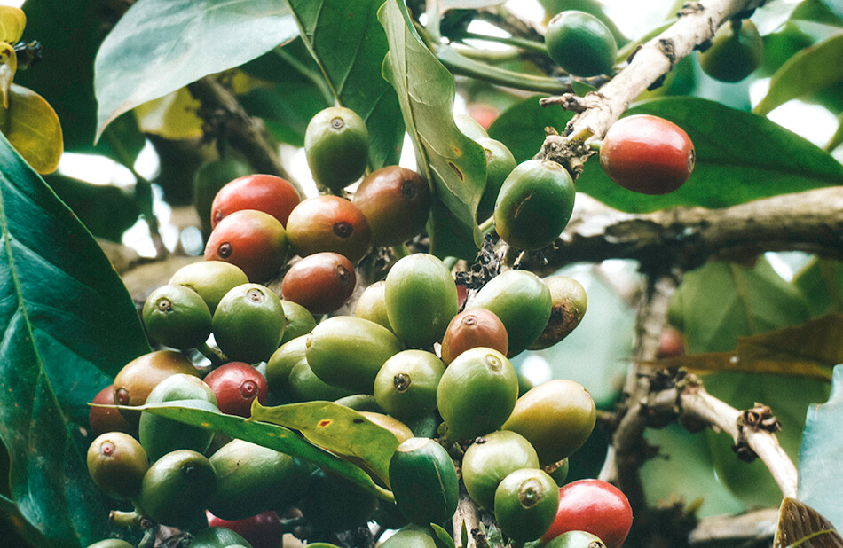 Coffee plantations can be found everywhere at the Bolaven Plateau, Laos