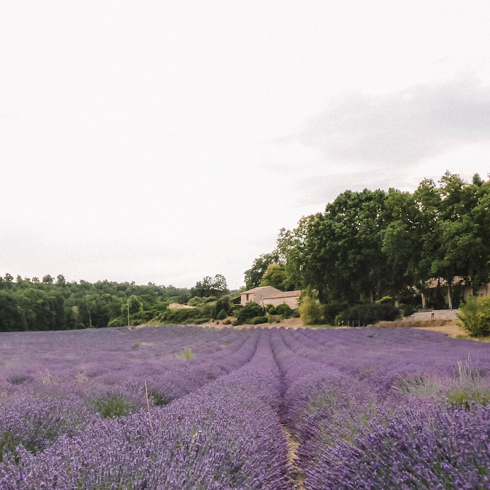Lavender fields in Valensole, Provence