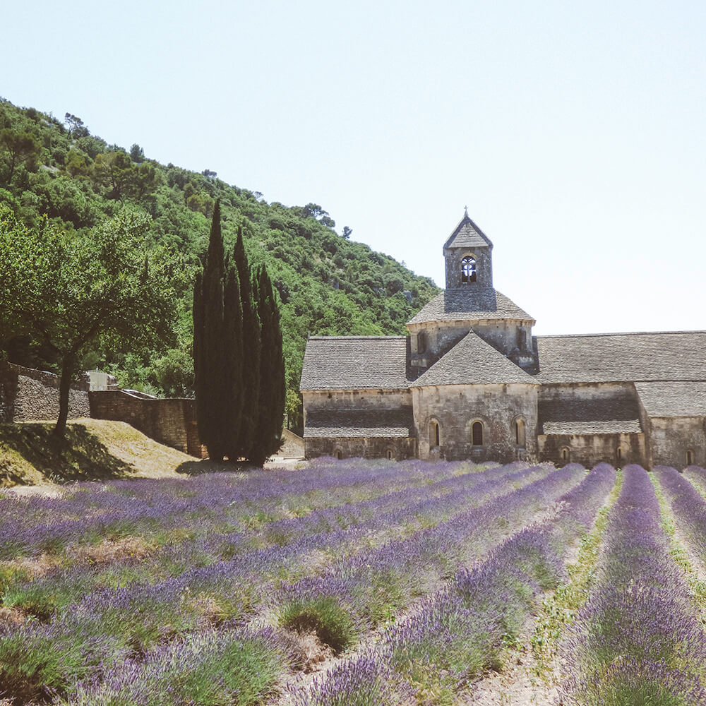 Lavenderr at l'Abbaye de Sénanque near Gordes in the Provence, France