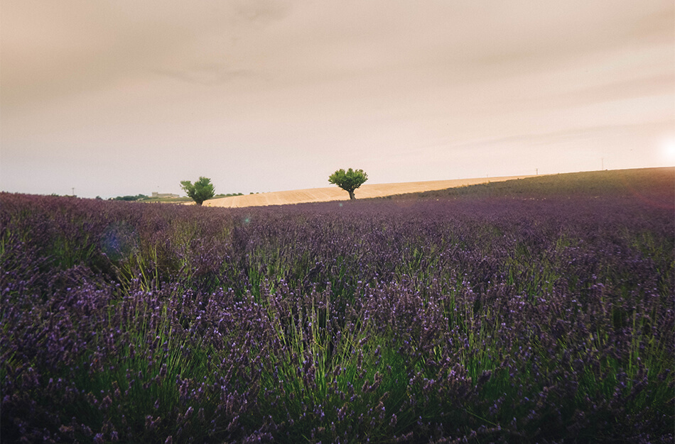 Endless fiels of Lavender in the Valensole Plateau