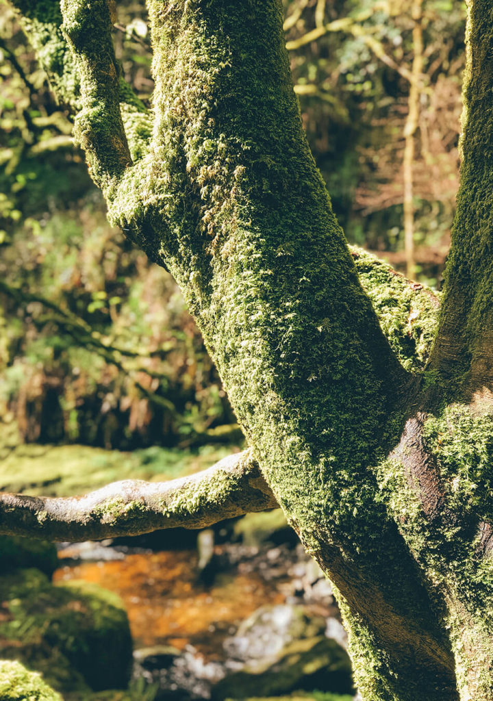 Mossy trees in  Killarney National Park, Ireland