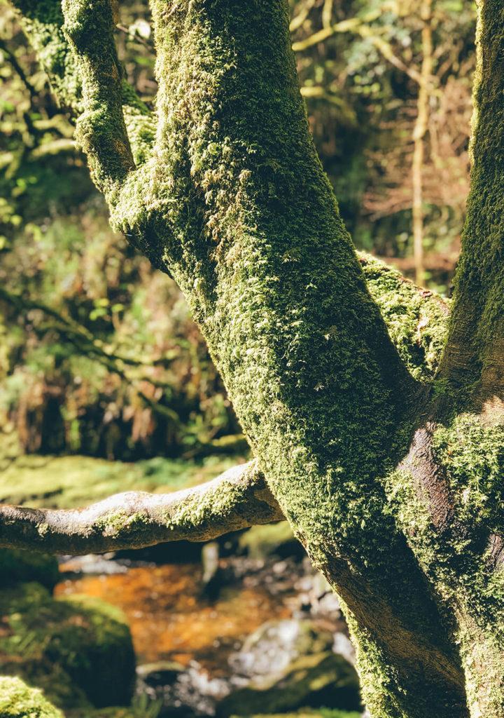 Mossy trees in  Killarney National Park, Ireland
