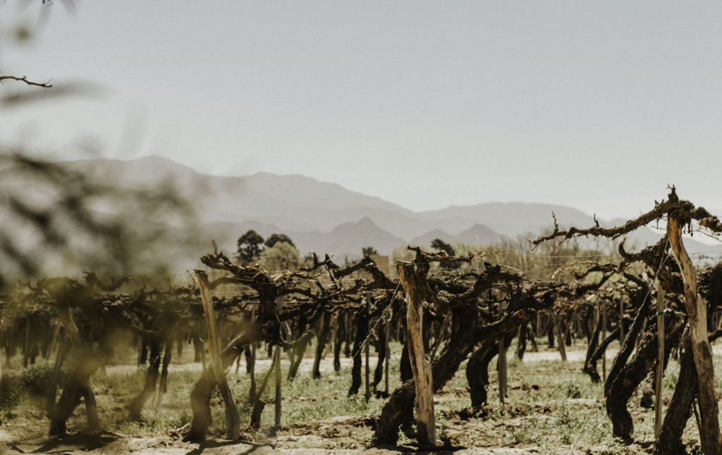 Old vineyards in Cafayate, Argentina