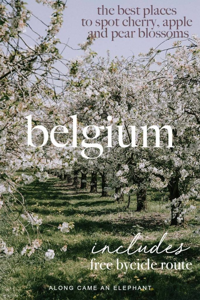Belgium travel guide to finding the best blossom spotting locations in Haspengouw, Belgium. How to spend a weekend in Haspengouw, Belgium, among the most beautiful cherry, pear and pale orchards. Our blossom guide includes a free bycicle route along the most beautiful orchards! #blossoms #spring #belgium #travel