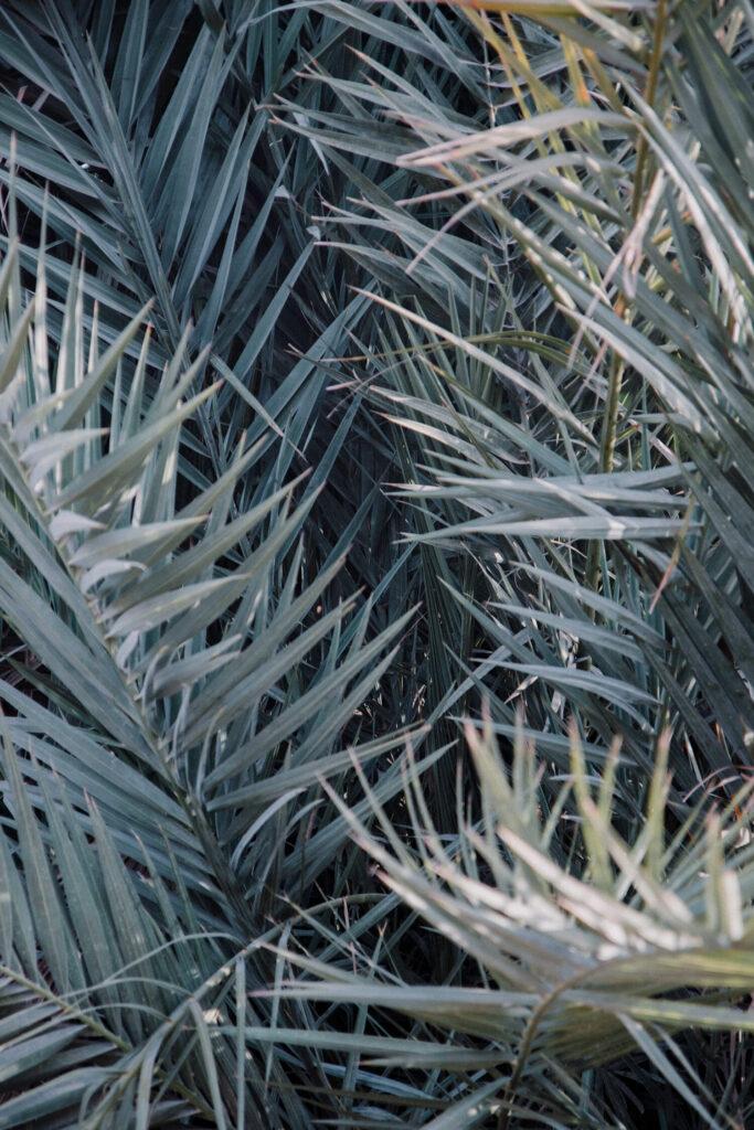 Palm trees offering shade in the hot Israeli desert