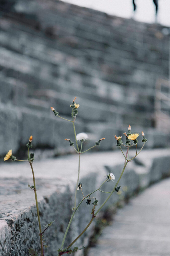 Close up of wild flowers growing between the stairs of the Verona Arena