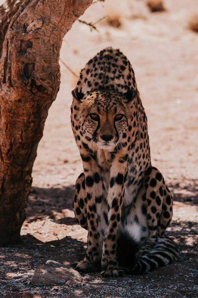 witnessing a Cheetah feeding at the Namibian Wildlife Sanctuary in Kanaan