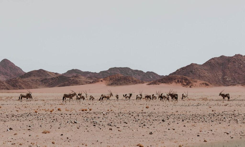 A group of Oryx at the Kanaan Desert Retreat
