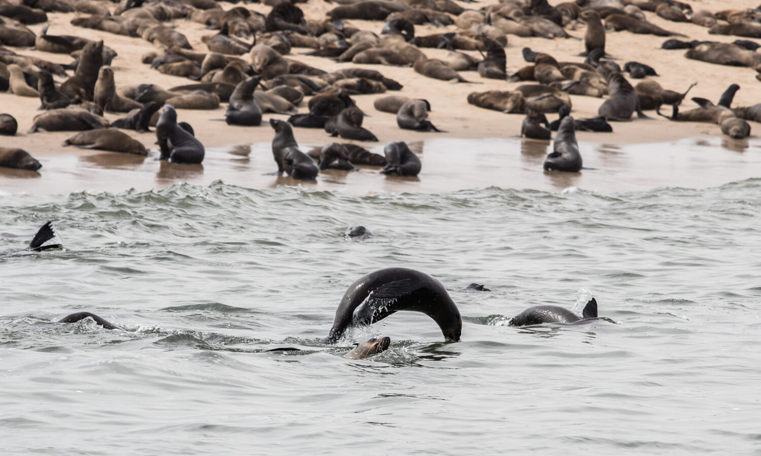 Cape Fur seals near Pelican Point during a dolphin and seal catamaran cruise in Namibia