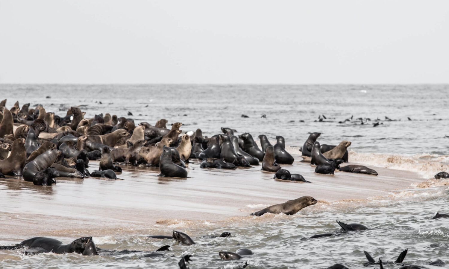 Boat cruise from Walvis Bay: spotting the Cape Fur seal, one of the Big 5 of the Namibian ocean