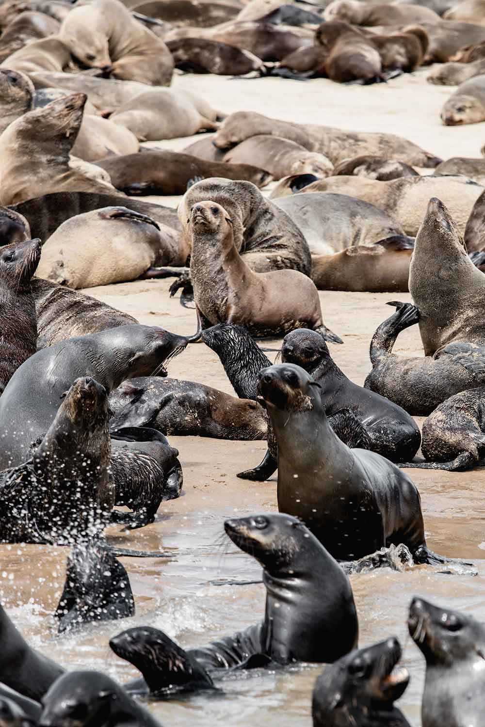 Cape Fur seals enjoying the sunshine between Walvis Bay and Swakopmund