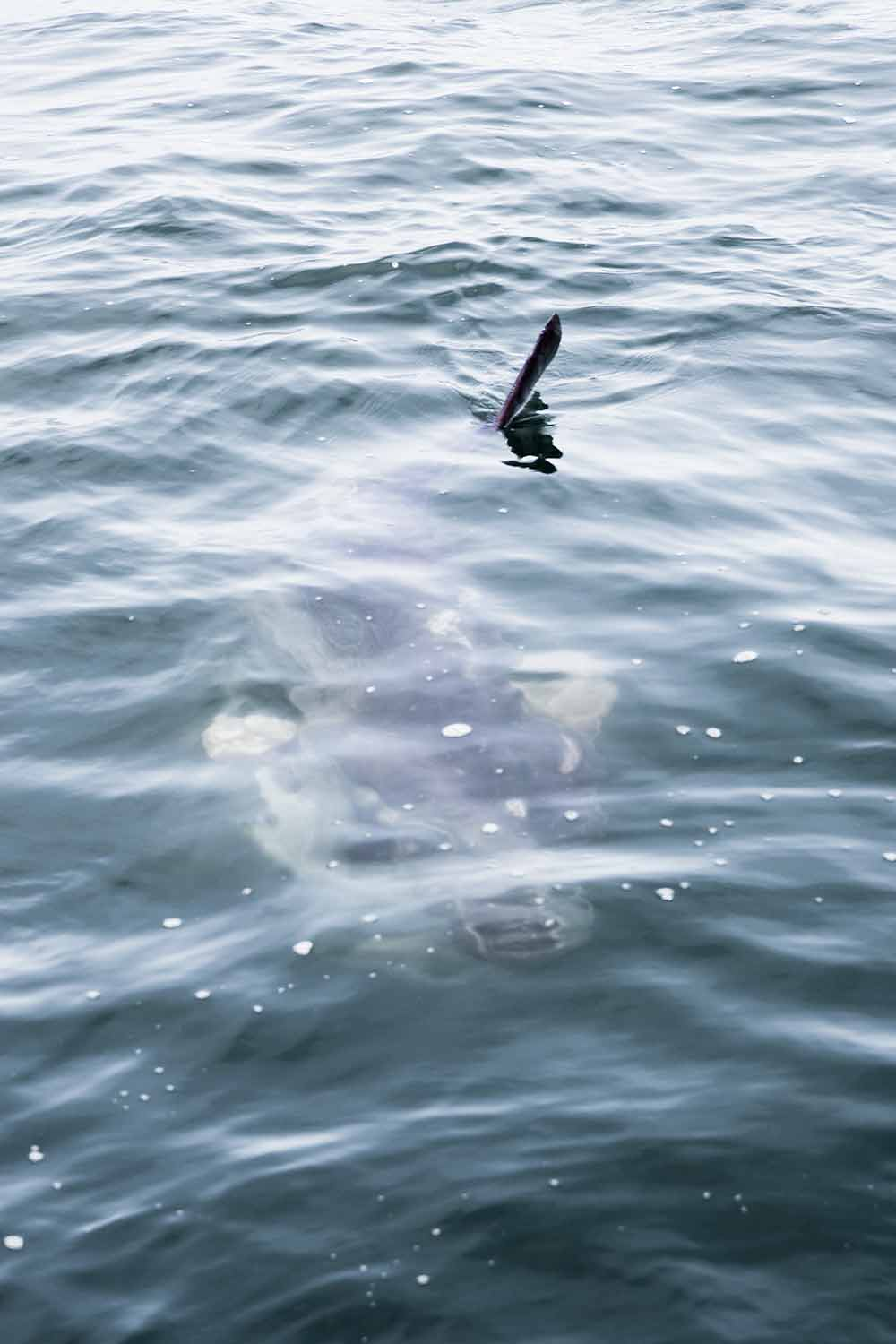 spotting Mola Mola or Sunfish on Walvis Bau-y boat trips