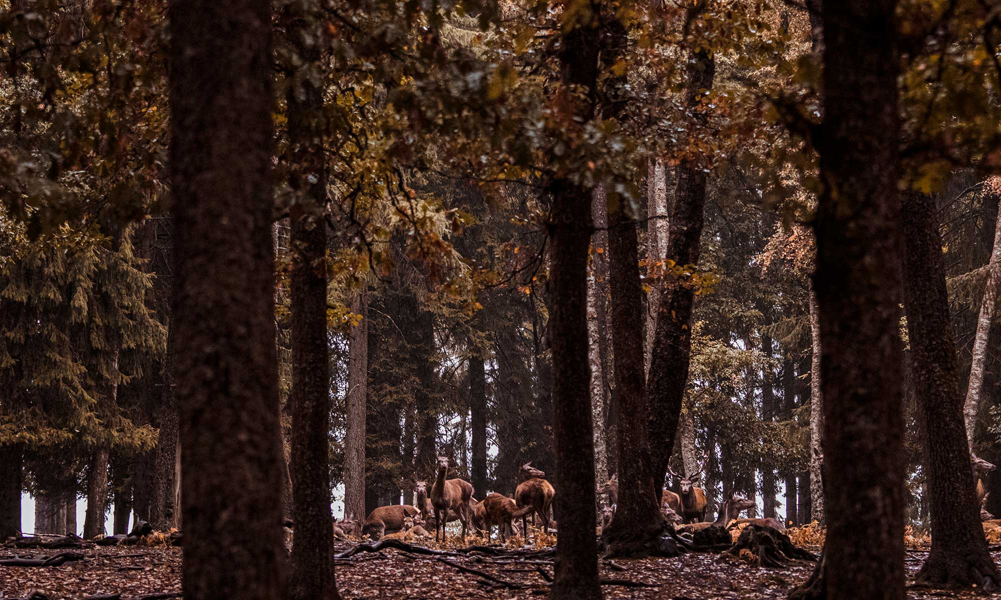 A family of deer being assembled by the dominant stag near Saint Hubert