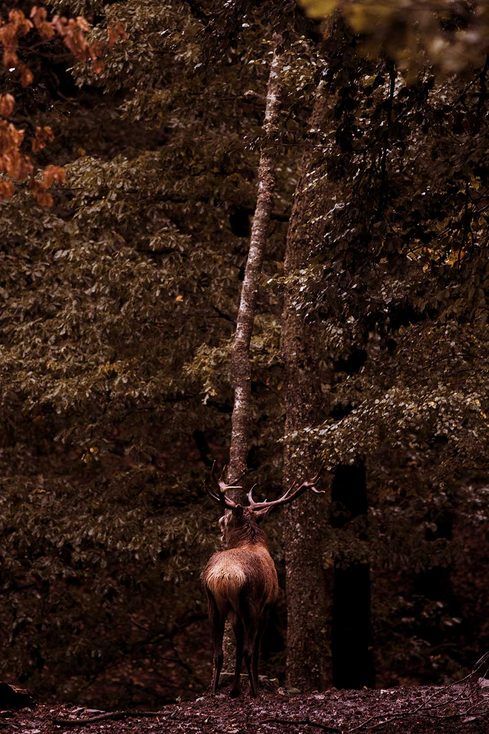 Imposing stag empty their lungs with primal cries that resonate through the Ardennes forests