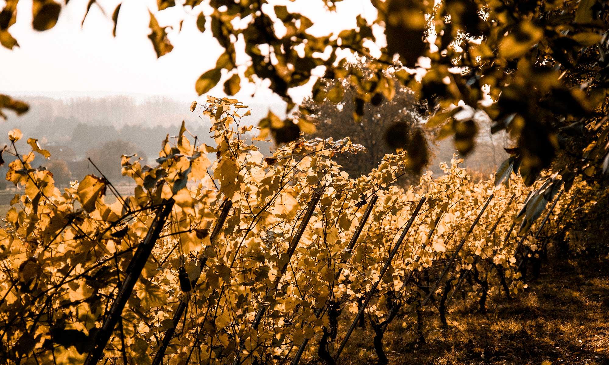 Walking along the vineyards near the tiny house Belgium