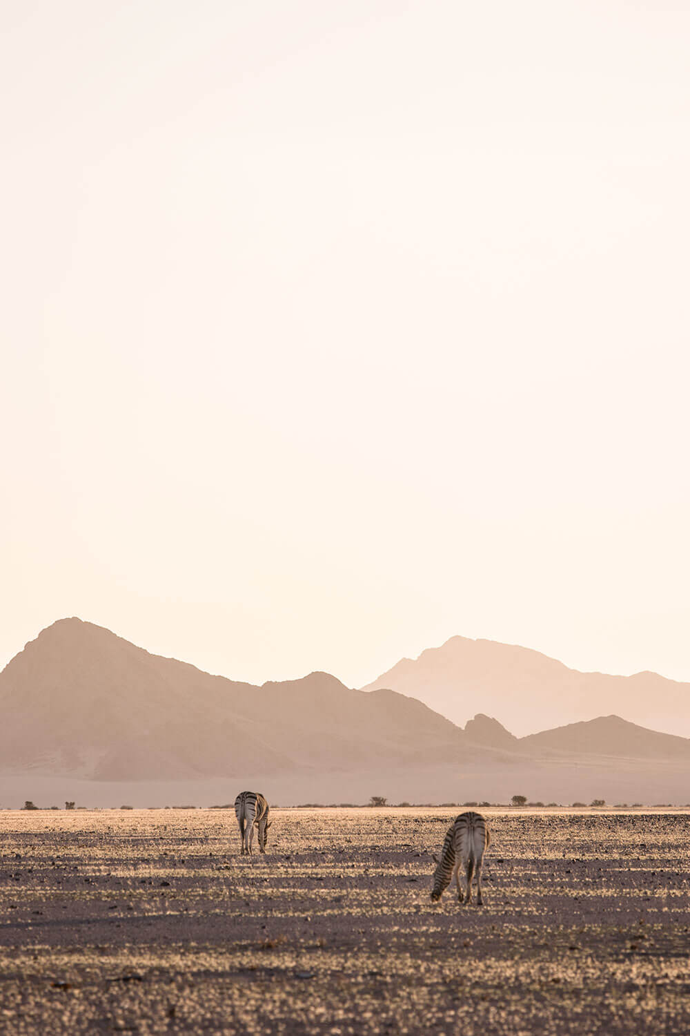 Zebras roaming the dry plains of the Namib desert