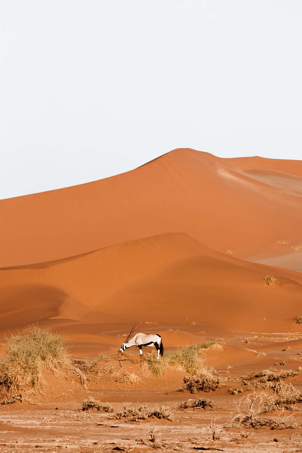 Oryxes even roam the seemingly inhabitable lands of Sossusvlei