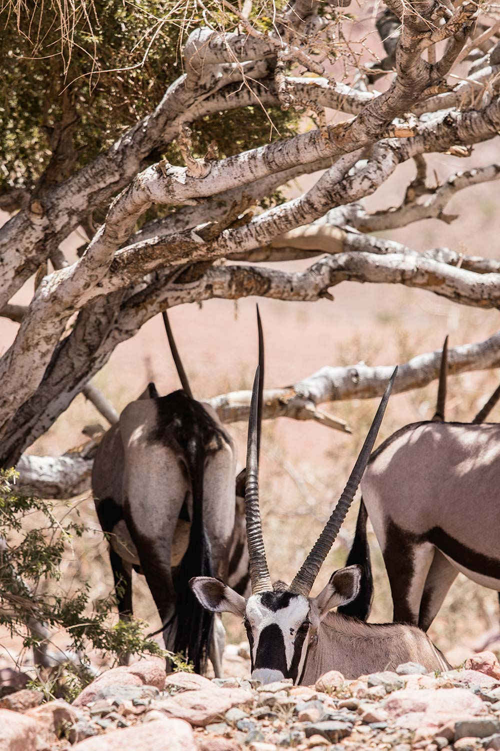 Oryxes looking for shade in the Namibian Desert